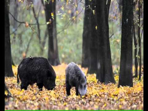 Jagen in Ungarn - Das Schwarzwild