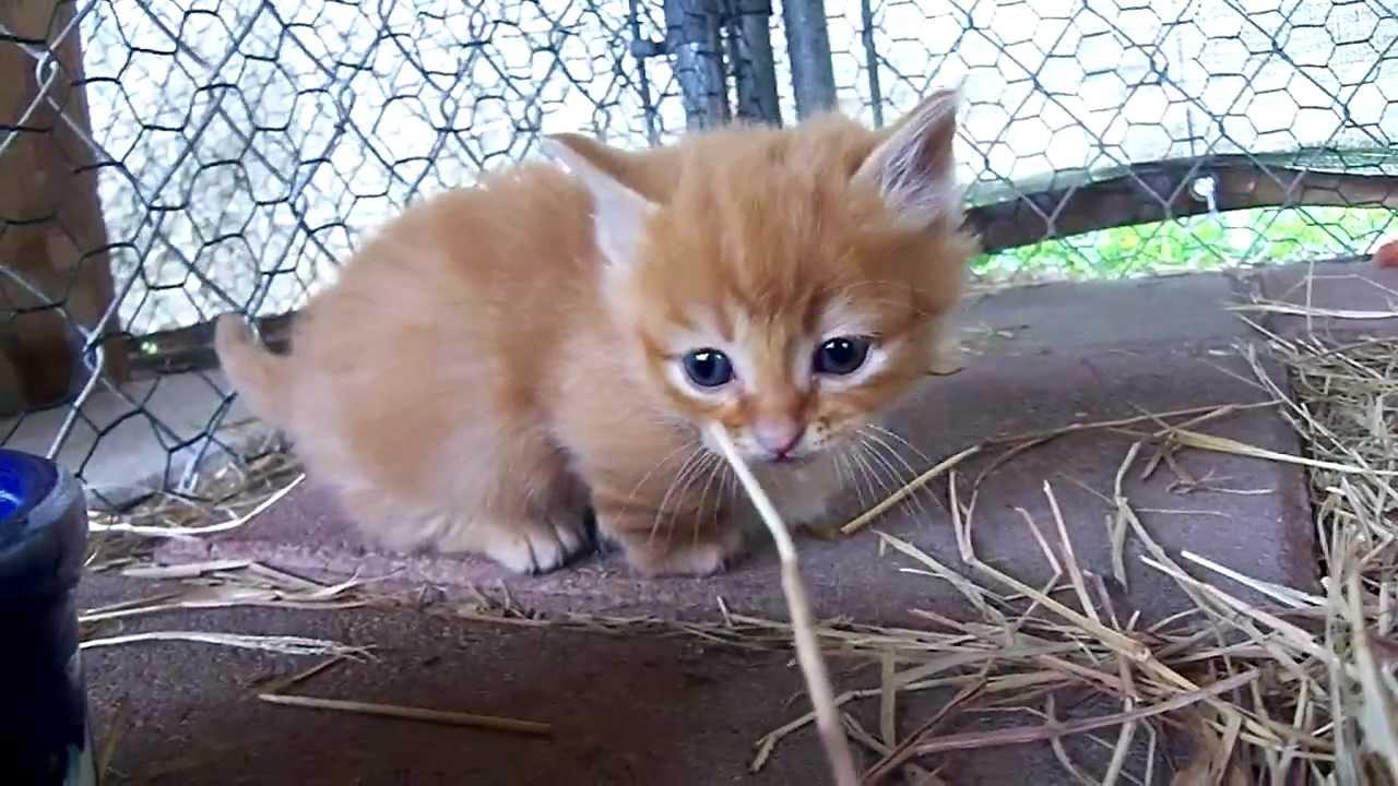 adorable orange Munchkin kitten 2-24-12 - YouTube