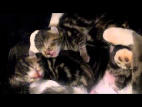 CAT BIRTH VIDEO (Graphic) !!! What to expect