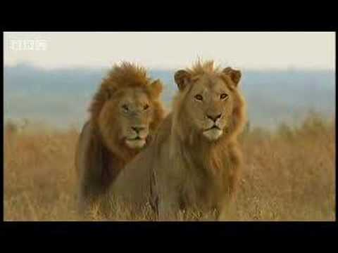King lion duo and their pride - BBC wildlife, A brief look at the marsh prides reign of power. Their cubs are constantly in danger from new males trying to move in on their territory. From the BBC.