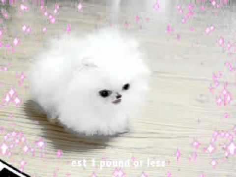 poshfairytail.com smallest dog - YouTube