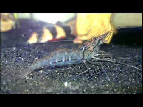 Indian Whisker Shrimp (Macrobrachium SP?) Up Close and Personal ...