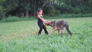 5 YEARS OLD GIRL TRAINING HER GERMAN SHEPHERD TO BITE TO