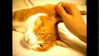 طريقه تنظيف اذن القطه