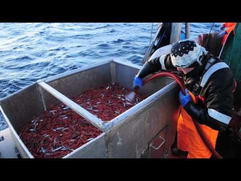 Prawn fishing in Norway