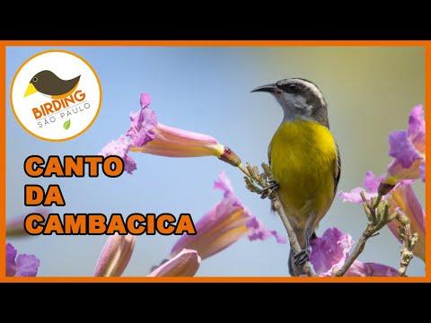 Canto da Cambacica (Coereba flaveola)