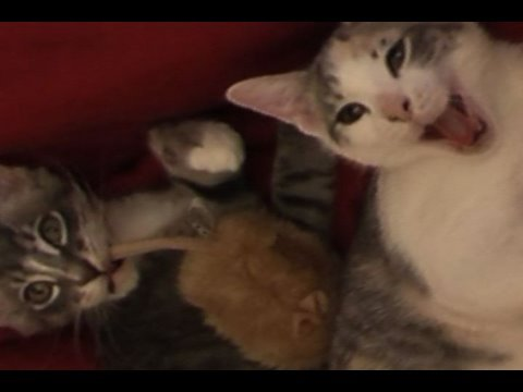 Kittens playing with remote control mouse