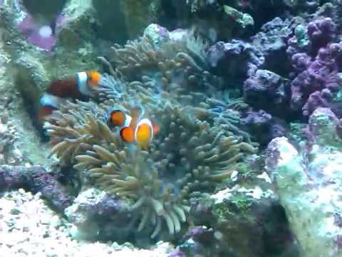 Ocellaris clownfish anemone - photo#27