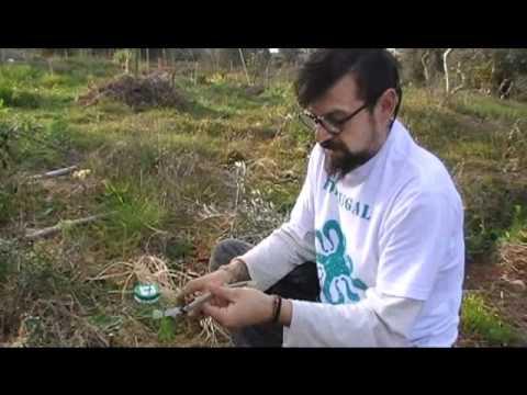Como fazer um enxerto em oliveira (Olive Grafting)