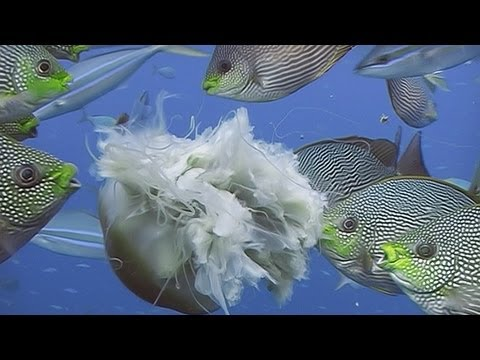 Fishes Feeding - Reef Life of the Andaman - Part 19