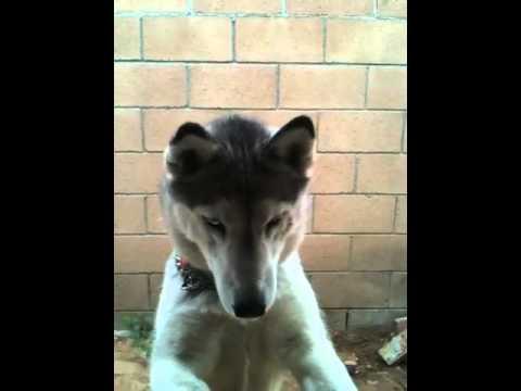 Husky won't eat fattening food