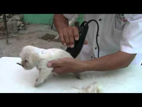 Venta de Hermosos Cachorros Schnauzer miniaturas Blancos