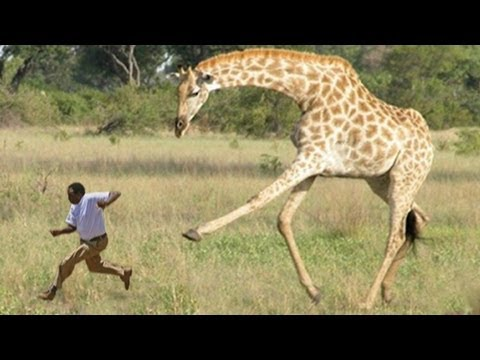WHEN GIRAFFES ATTACK - YouTube