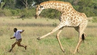 When Giraffes Attack..
