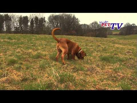 Video zu Bordeauxdogge