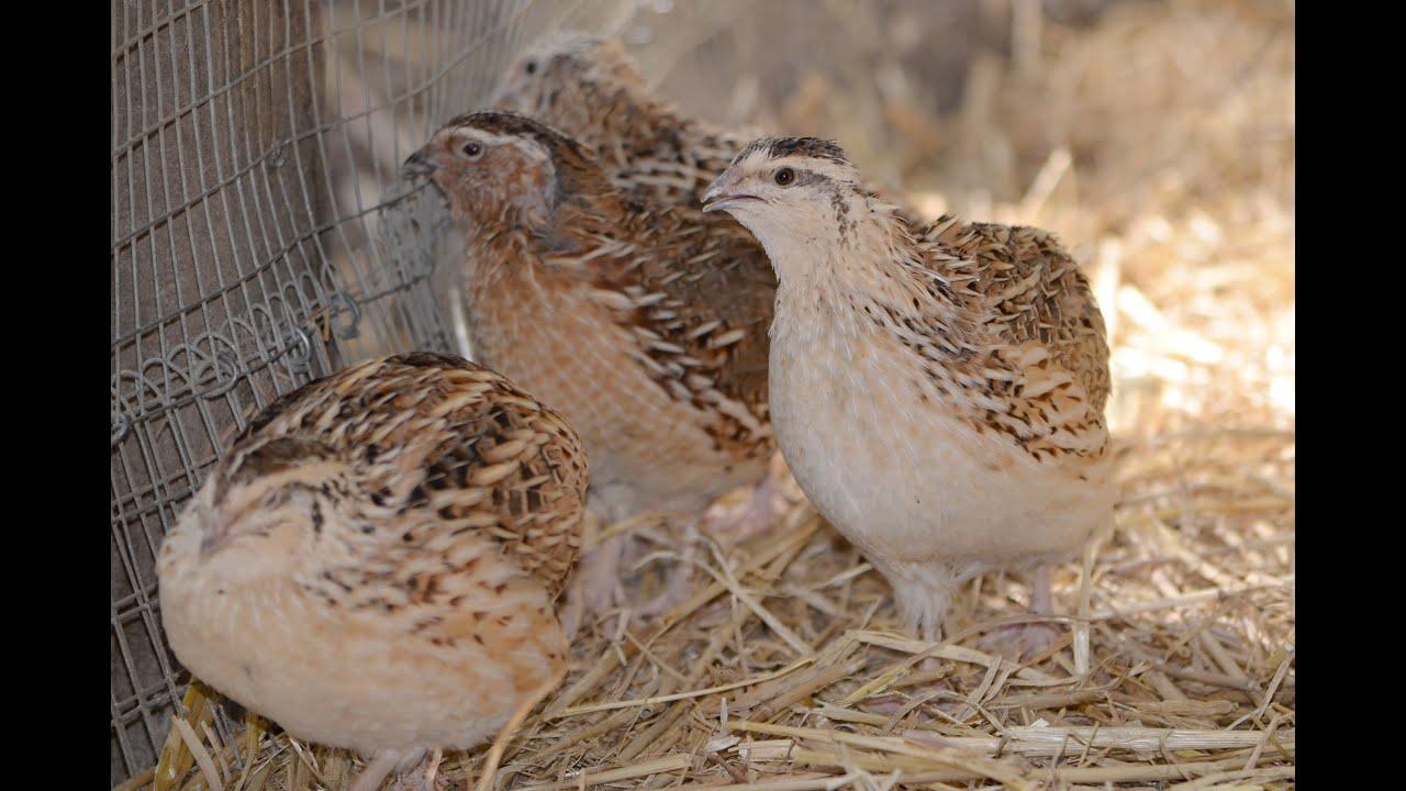 quails - photo #41