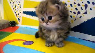 "Cute Persian Kittens: The ""I"" Litter 1 Of ? 7.10.11"