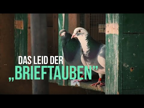 """Das Leid der Tauben im """"Brieftaubensport"""" / PETA"""