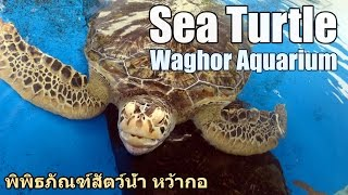 Sea turtle, Waghor Aquarium
