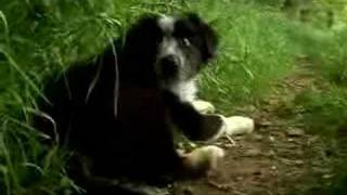 Border Collie Sheepdog Cute Dogs Puppies Playing Movie
