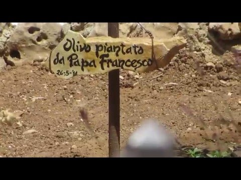 A new olive tree at Gethsemane Jerusalem -- from Pope Francis
