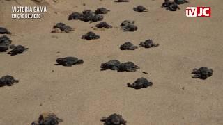 Ambientalistas conduzem filhotes de tartarugas até o mar em Piedade