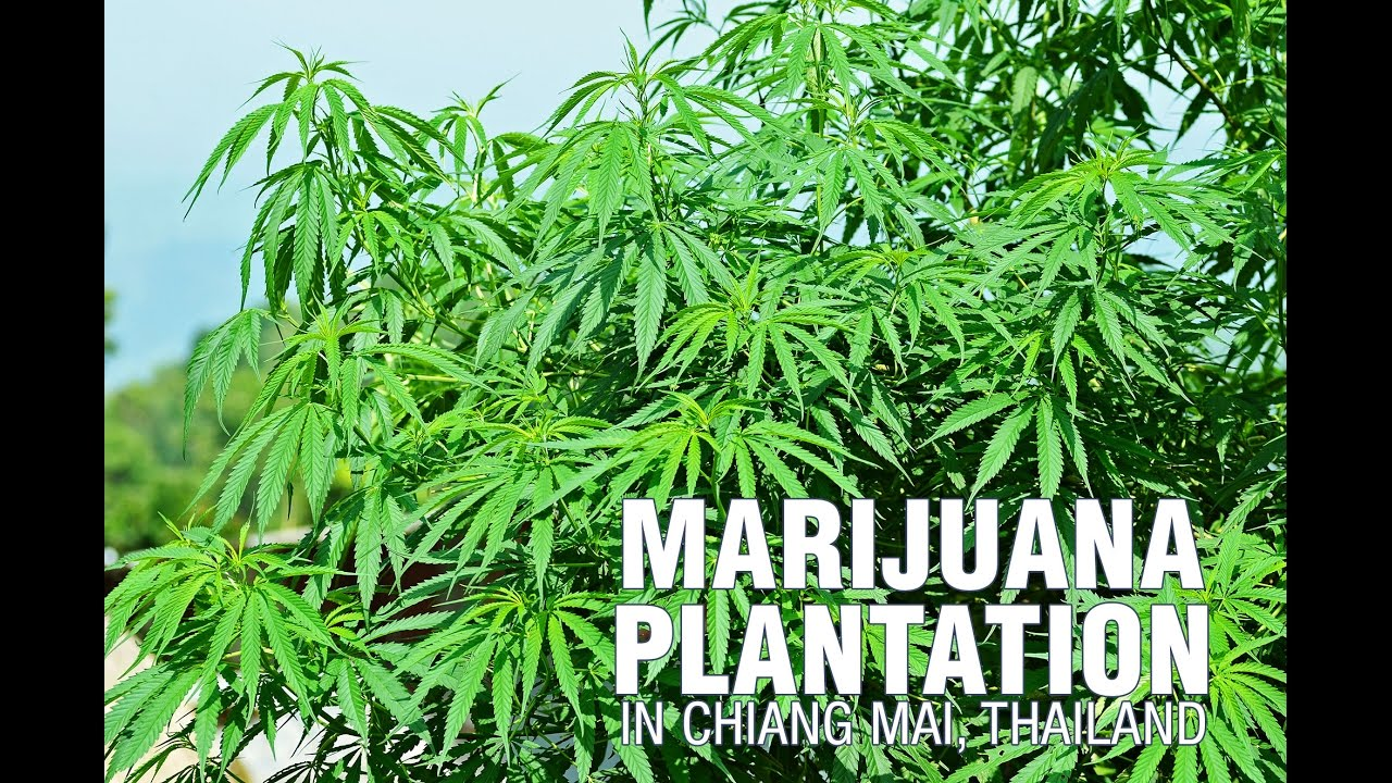Marijuana plantation in chiang mai thailand youtube for Weed plantation exterieur