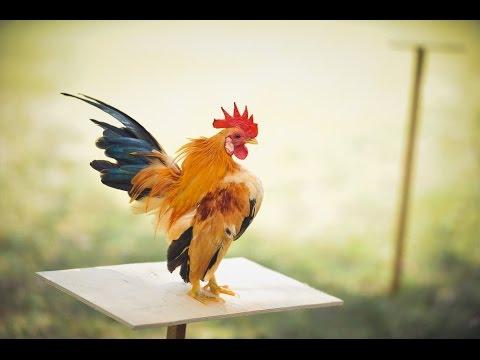 [HÌNH ẢNH TỔNG HỢP] Gà serama đẹp - Smallest chicken breed.
