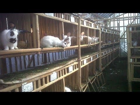 Ternak Kelinci - Keuntungan Budidaya Ternak Kelinci Ternyata Menggiurkan