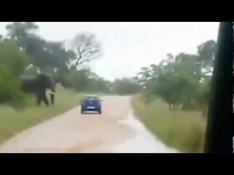 South Africa - Elephant attacks vehicle  - Elefante cappotta auto.