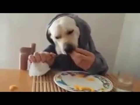 Dog eating like humans,funny as hell