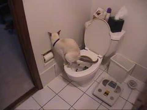 Cat using toilet toilet paper youtube for Commode kitty
