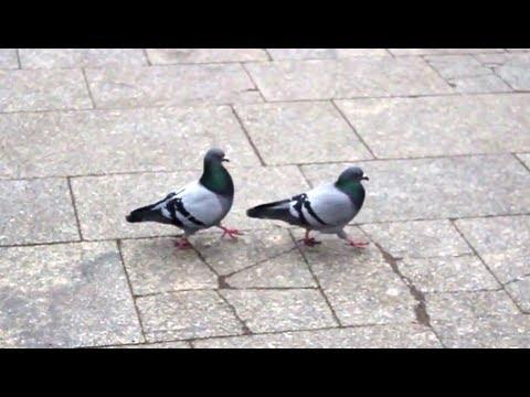 Gołębie wiedzą, jak to się robi!