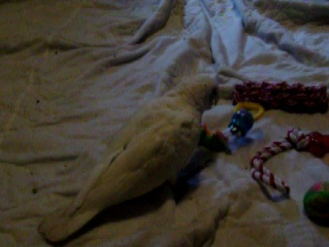 Sugar, Bare Eyed Cockatoo w/new toy~Pt 2