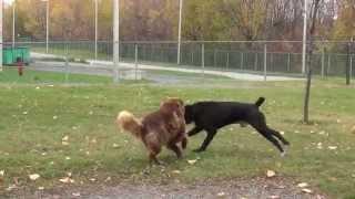 Conférence de Yanick Dion: mon chien est-il alaise au parc canin?