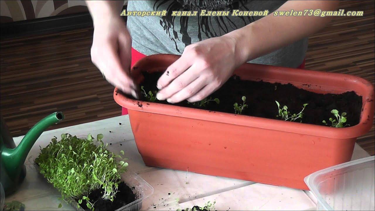Выращивание лобелия из семян в домашних условиях 68