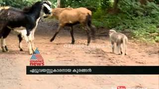 The Monkey Shepherds Of Nelliampathy In Kerala : Asianet