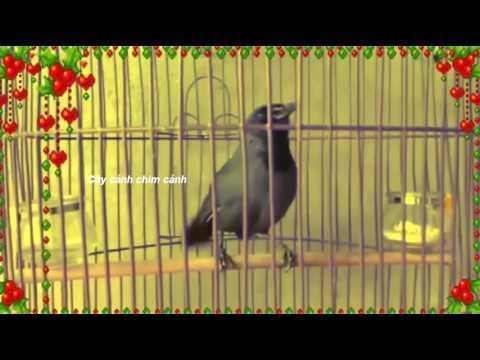 Tiếng chim khướu mồi cưc hay cực đỉnh