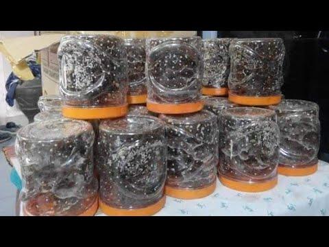 BUDIDAYA SEMUT RANG-RANG