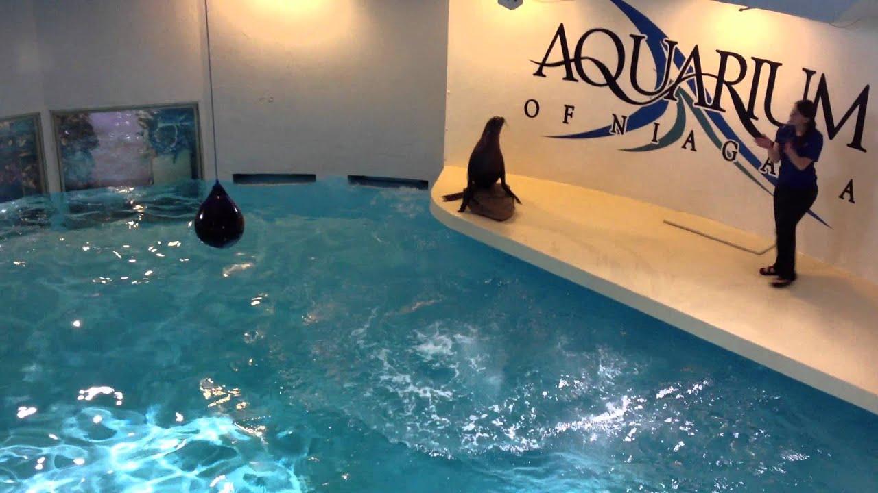 Niagara Falls Aquarium Sea Lion Show Youtube
