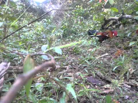 pikat ayam hutan mantap 6