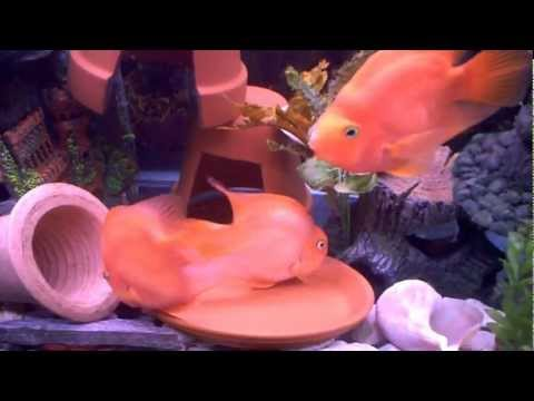 Breeding Pair of Blood Parrot Cichlid Fish laying and Guarding eggs in Community Tank