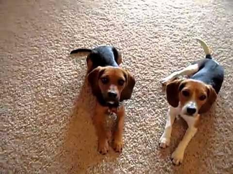 Home Grown Pocket Beagles