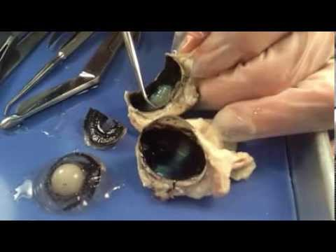 Sheep eye anatomy - photo#20
