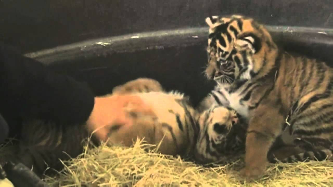 Cutest baby tigers in the world? - YouTube