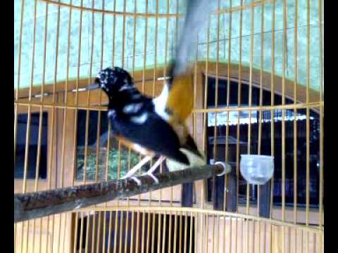 Burung Murai medan blorok