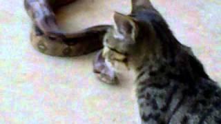 Gato Vs Serpiente Orchan