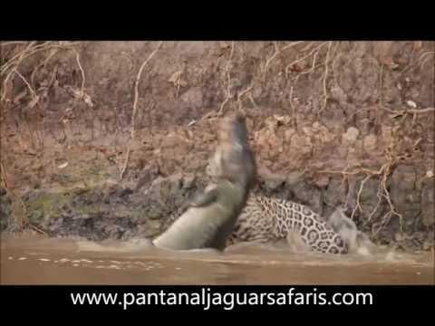 Jaguar, caza a cocodrilo dentro del agua. !!impresionante!!...