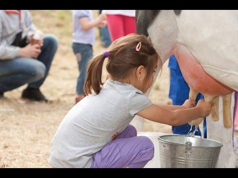 Comment traire une vache ?