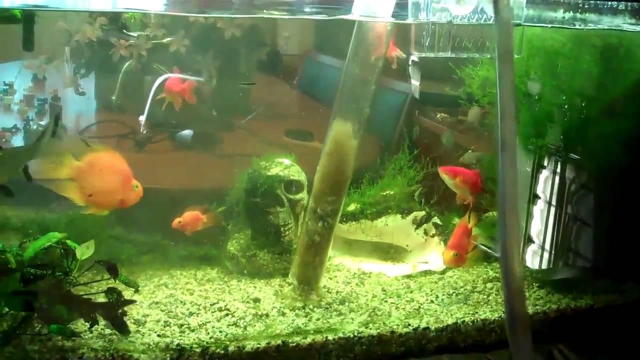 Fish tank water change aquarium fish care part 1 youtube for Betta fish water change